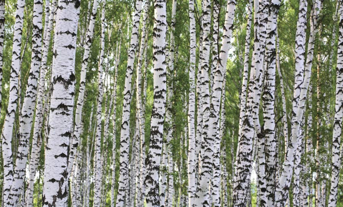 Forest of birch wood trees in the springtime