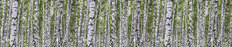 Birchwood Forest - Panoramic Wallpaper Mural