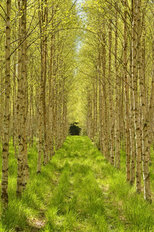 Birchwood Forest Pathway Wall Mural