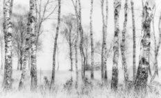 Black And White Trees Wall Mural