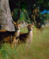 Black Tailed Deer Fawns, British Columbia, Canada  Wall Mural