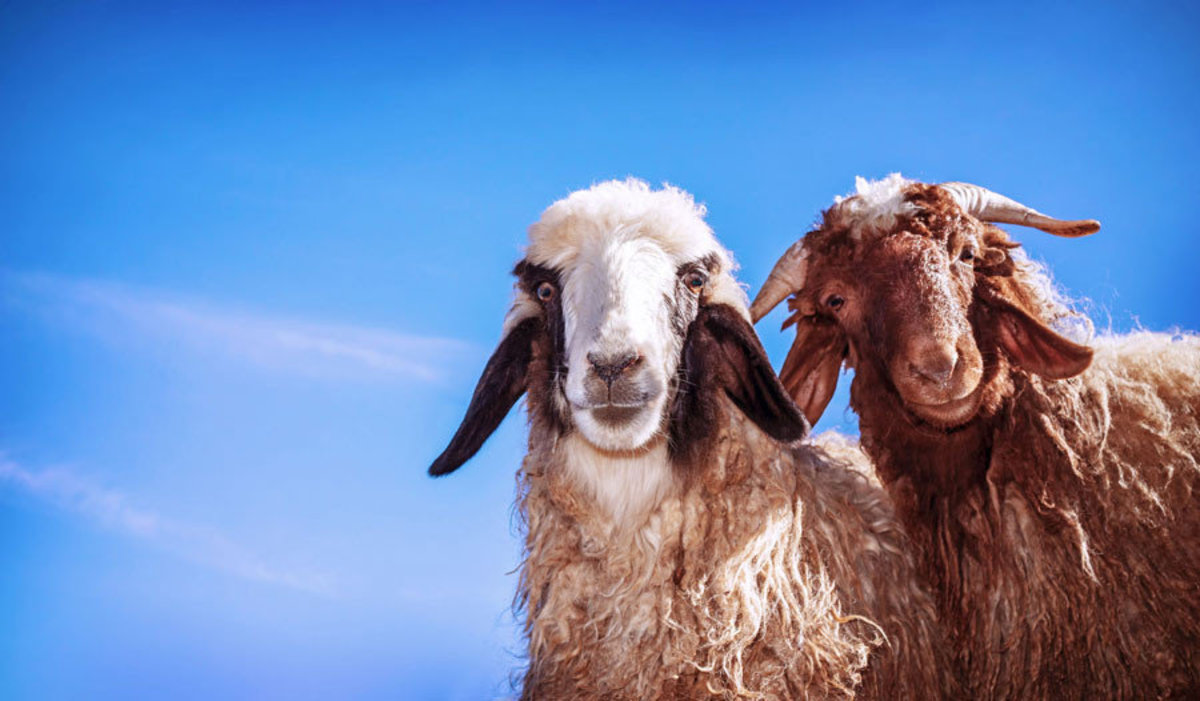 Two goats prepare for their closeup on this farm