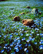 Blue Flowers Mural Wallpaper