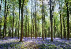 Sunlit Bluebells In Wepham Woods With Blue Sky Wallpaper Mural
