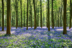Spring Bluebells In Wepham Woods Mural Wallpaper