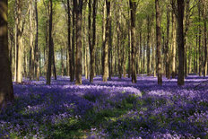 Bluebells In Wepham Woods Mural Wallpaper
