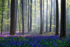 Bluebells Mural Wallpaper