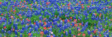 Bluebonnets, Texas Mural Wallpaper