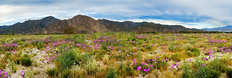 Borrego Spring Flowers Wall Mural