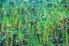 Boston Ivy Wall Mural