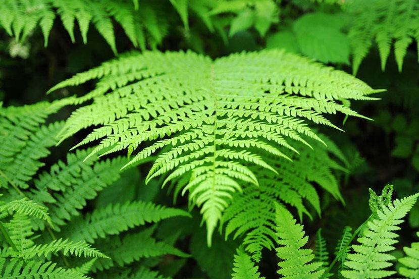 a single green fern frond in closeup detail, surrounded by other ferns