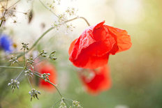 Bright Poppy Mural Wallpaper