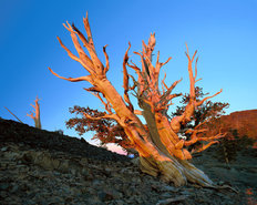Bristlecone Pine at Sunrise, Inyo National Forest, California Wallpaper Mural
