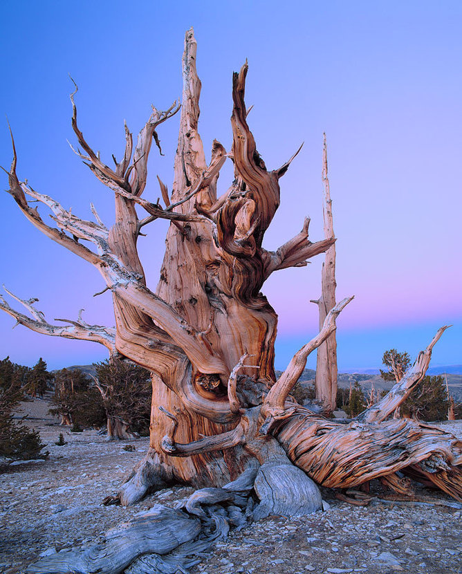 Bristlecone Pine at Twilight, Inyo National Forest, California