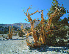 Bristlecone Pine, Inyo National Forest, California Wall Mural