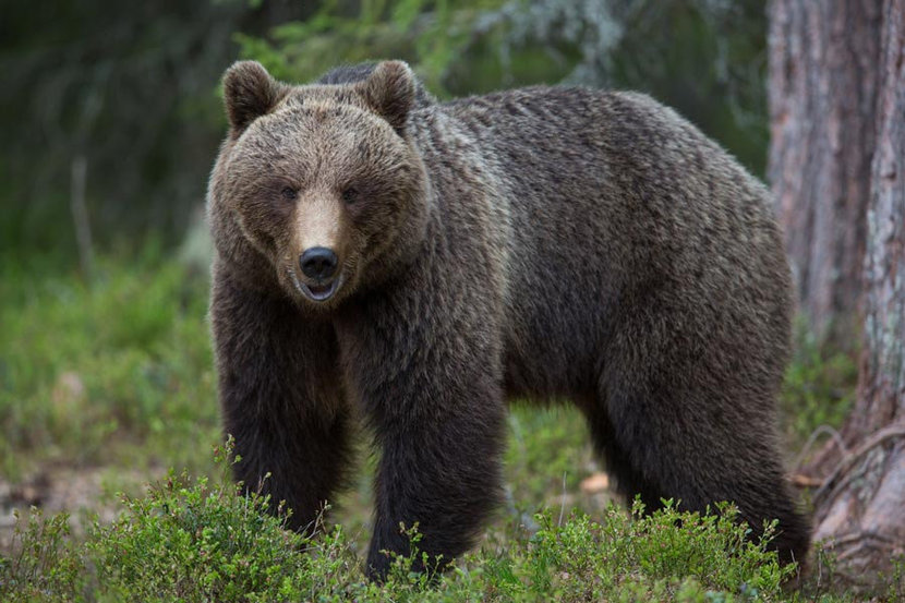 A lone brown bear stands in a forest in this wildlife