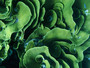 Cabbage Coral Wall Mural