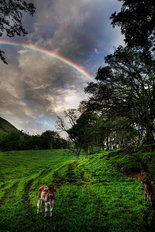 Calf With Green Field And Rainbow Wall Mural