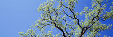 California Oak Tree Wall Mural