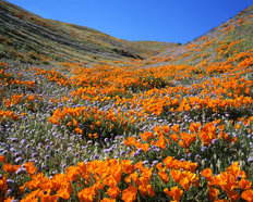 California Poppies Wall Mural