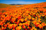 Bright orange Calirfornia Poppy flower field in super bloom located in Antelope Valley