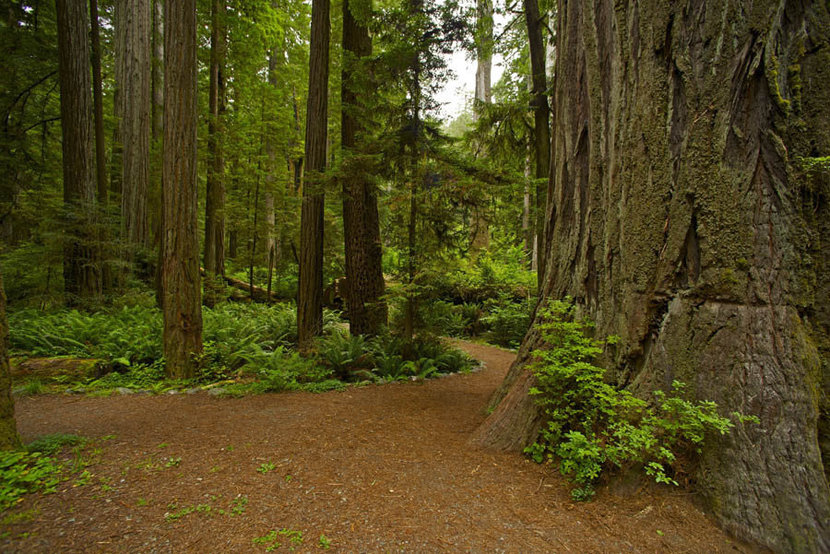 California Redwood Forest Landscape Wall Mural
