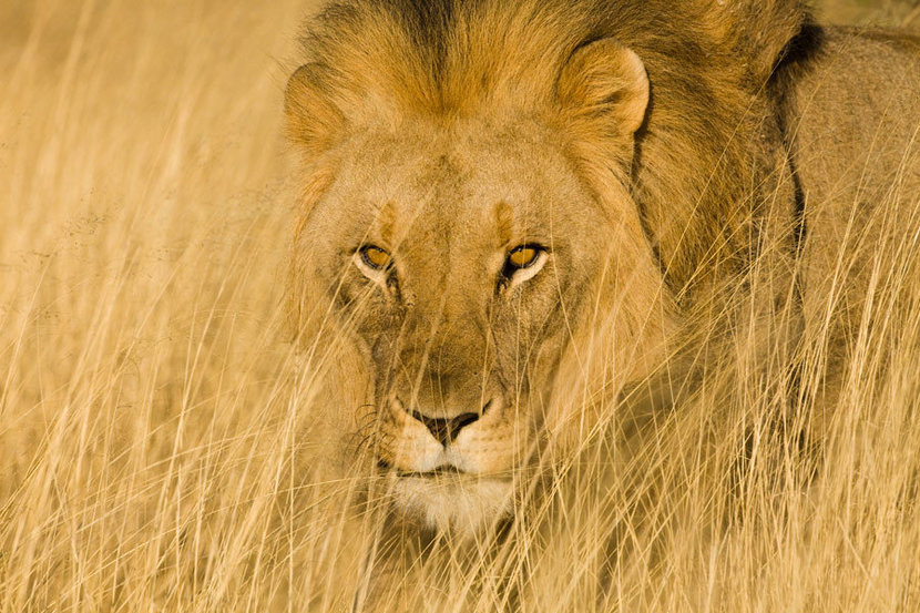 Camouflaged lion in the grass