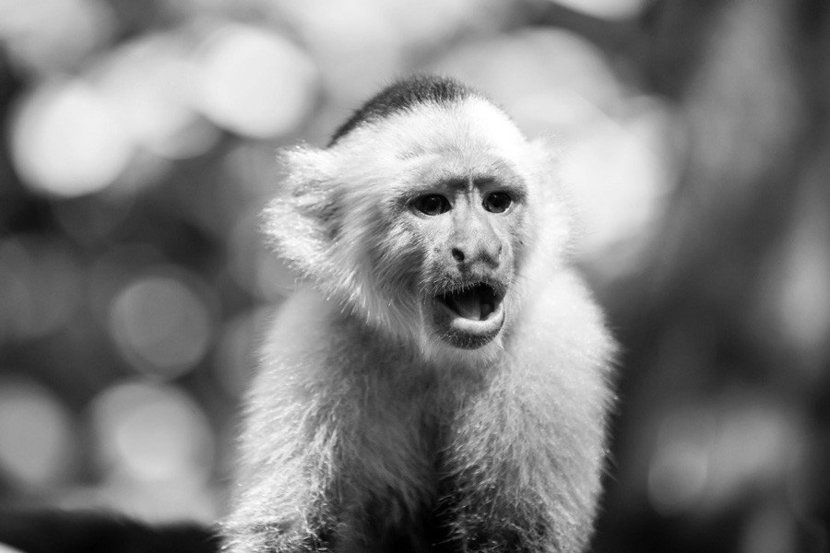 classic black and white portrait of capuchin monkey
