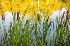 Cattails In Autumn Wall Mural