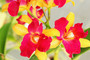 Cattleya Orchids Mural Wallpaper