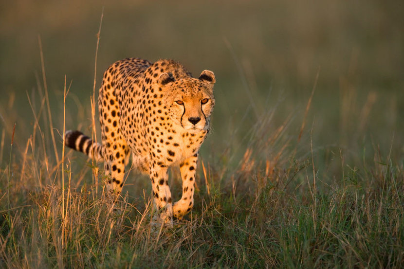 Cheetah At Sunrise Mural Wallpaper