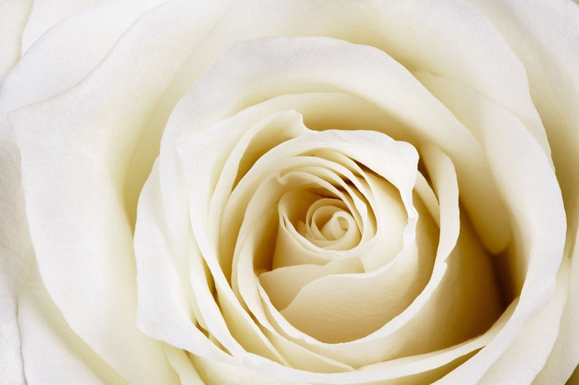 Close-up of Beautiful White Rose Wall Mural