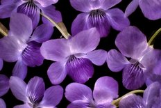Close Up Of Violet Wildflowers Wall Mural
