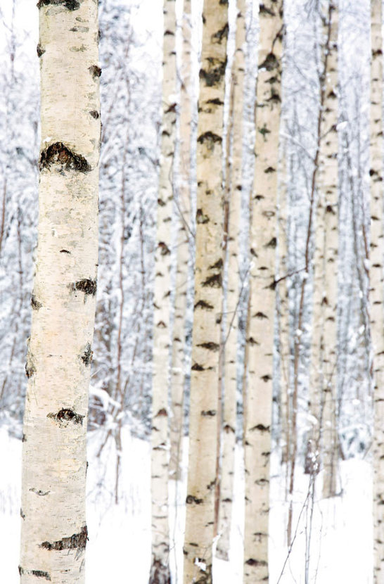 Winter Birch Trunks Wall Mural