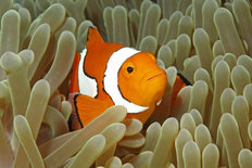 Clown Fish and Sea Anemone Wallpaper Mural