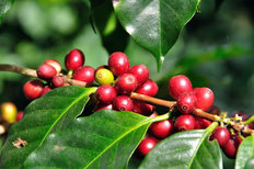 Coffee Beans On Tree Mural Wallpaper