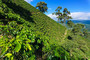 Coffee Plants On Hills Of Columbia