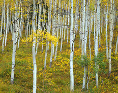Colorado Aspens Mural Wallpaper
