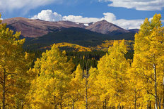 Golden Aspens In The Rockies Wall Mural