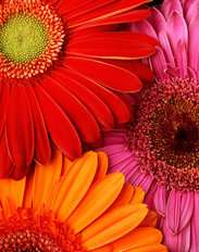 Colorful Gerbera Daisies Mural Wallpaper