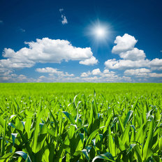 Corn Field Mural Wallpaper