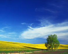 Cottonwood and Canola Field, Washington Mural Wallpaper
