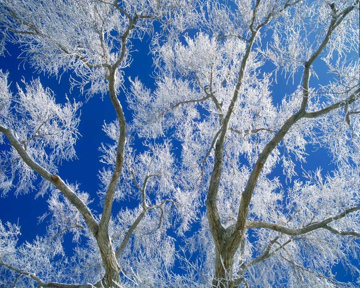 Cottonwood Tree and Hoarfrost Mural Wallpaper