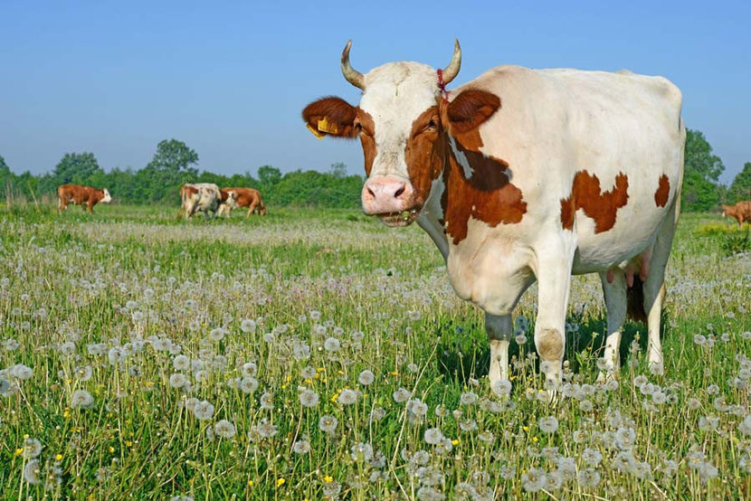 a friendly brown and white cow standing in a field of grasses and dandelions