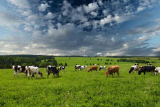 Cows Grazing In A Meadow Wall Mural