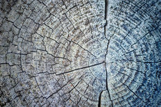 The Cross Section Of A Tree Wallpaper Mural