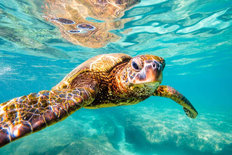 Cruisin' Sea Turtle Mural Wallpaper