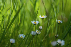 Daisies in Grasses Mural Wallpaper