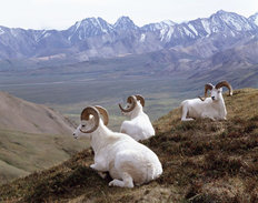 Dall Sheep Wallpaper Mural