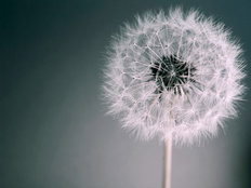 Dandelion Dream Mural Wallpaper